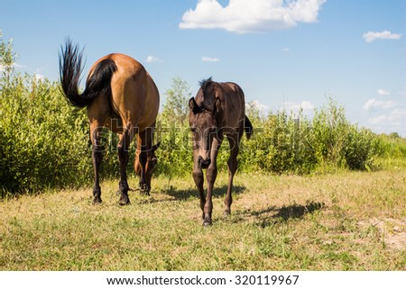 pasturing chestnut horse with little foal