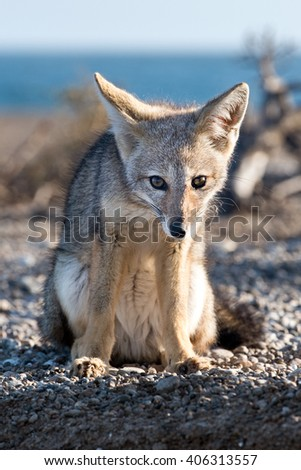 patagonia grey fox portrait while looking at you