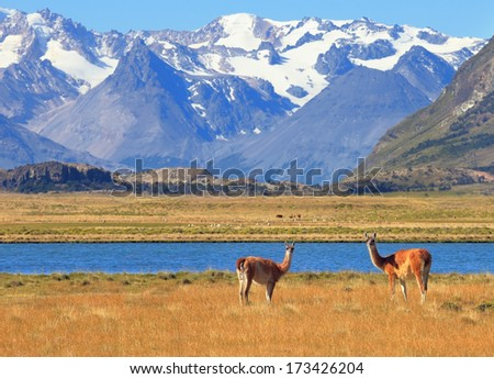 Patagonia. Harmonious landscape - yellow field, blue lake and snow-capped mountains. In the foreground are grazing guanaco - stock photo
