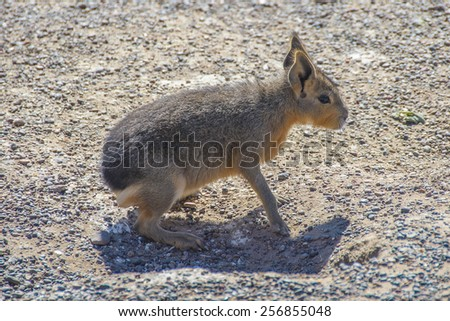 Patagonia rodent - stock photo
