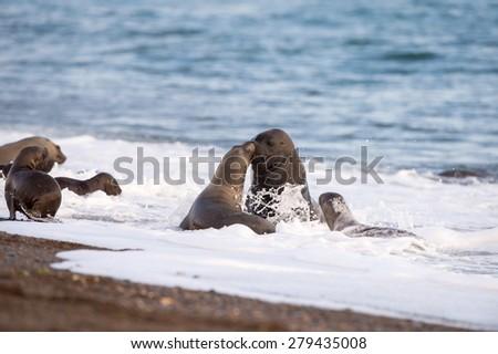 patagonia sea lion portrait seal on the beach - stock photo