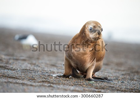 patagonia sea lion portrait seal on the beach