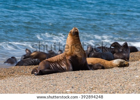 patagonia sea lion portrait seal on the beach move effect - stock photo