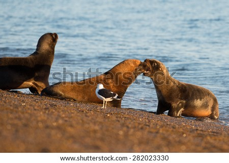 patagonia sea lion portrait seal while kissing on the beach - stock photo