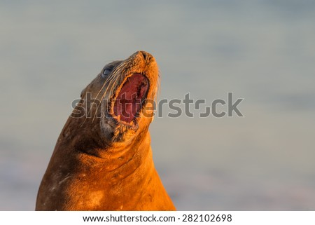 patagonia sea lion portrait seal while roaring on the beach - stock photo