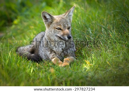 patagonian young fox in green grass
