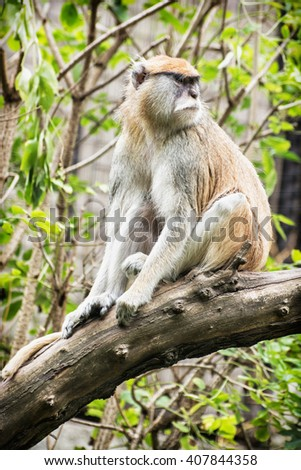 Patas monkey - Erythrocebus patas - Vervet monkey - sitting on the branch and observing surroundings. Animal scene.