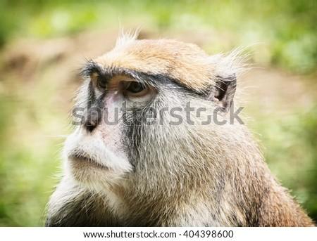 Patas monkey or Hussar monkey - Erythrocebus patas. Animal portrait. Beauty in nature. - stock photo