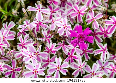 Patch of pink and white striped phlox flowers with one solid pink bloom standing out - stock photo