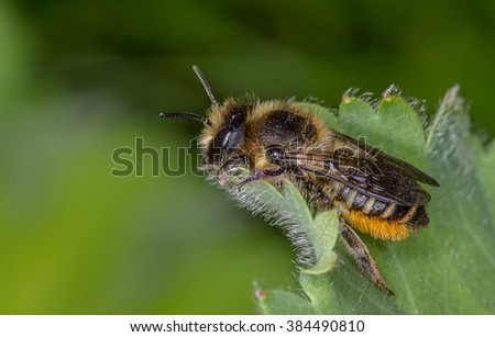 Patchwork Leaf Cutter Bee Megachile Centuncularis On Alchemilla