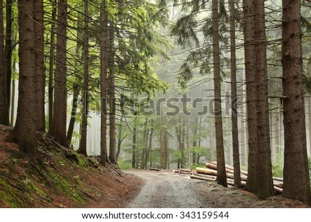 Path along the spruce trees in misty weather. - stock photo