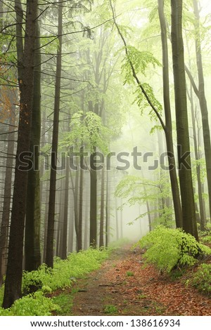 Path between coniferous and deciduous trees surrounded by fog in the spring forest.