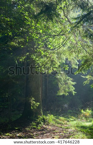 Path crossing old forest illuminated by morning sun against dark background, Bialowieza forest, Poland, Europe - stock photo