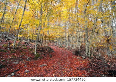 path in autumn beech forest with vivid colors - stock photo