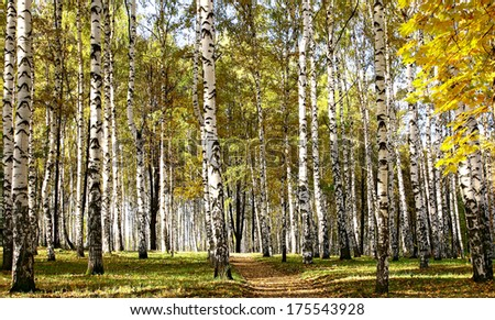 Path in birch sunny forest - stock photo