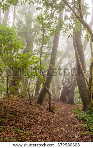 Path in El Cedro, laurel forest(Garajonay National Park) in La Gomera, Canary islands, Spain. - stock photo