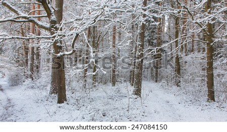 Path in forest snowfall after inside natural stand of Bialowieza Forest direct - stock photo