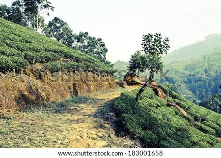Path in fresh green tea plantation at mountain hillside of Nuwara Eliya, Sri Lanka, Ceylon. Image with vintage filter - stock photo