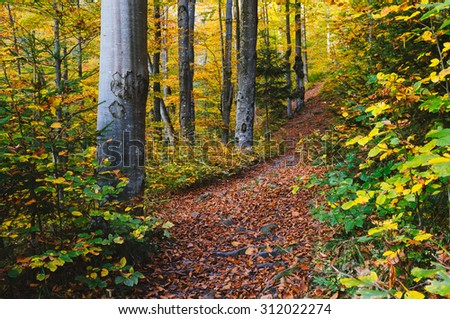 Path in the autumn forest. Beech trees in colored dresses - stock photo
