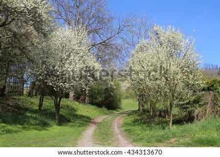 path leading through the blooming orchard in spring