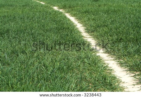 Path of parched earth through early wheat crop