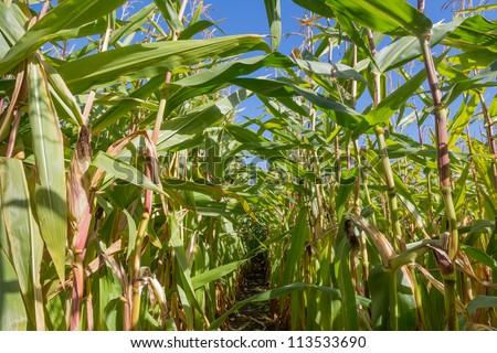 Path through a big cornfield - stock photo