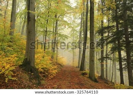 Path through autumn forest on a foggy, rainy day. - stock photo