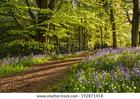 Path through Bluebell Wood / The Morpeth Bluebell Wood in Northumberland known for its fine walks in springtime - stock photo