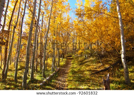 path through fall colored aspen trees - stock photo