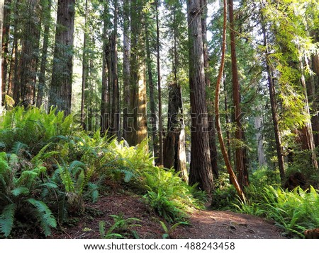 Path through Lush, Green Redwood Forest
