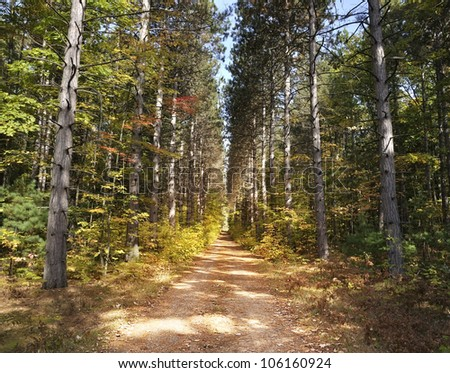 Path Through Tall Pine Trees Forest - stock photo
