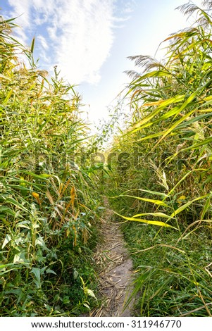 Path through the Typha Latifolia reeds close to the lake under a cloudy summer sky - stock photo