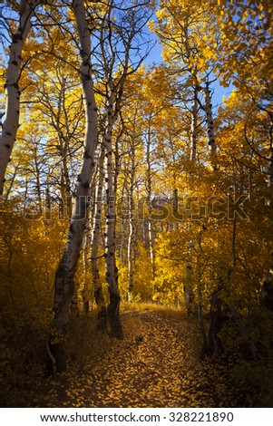Path through turning leaves of Aspen Trees.