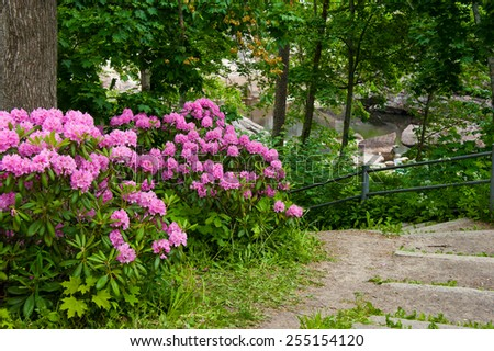 path with rhododendron