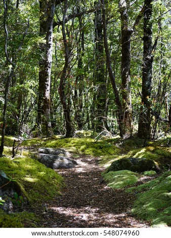 Pathway in beech forest in the Fiordland National Park