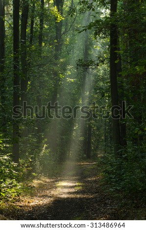 pathway in morning forest with sunbeams