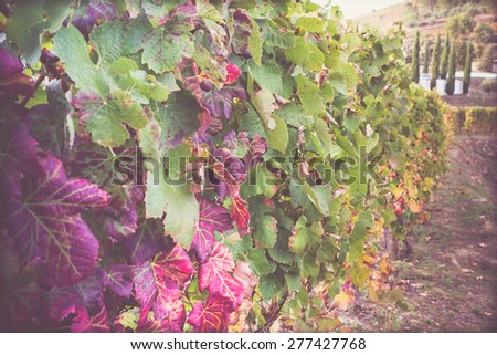 Pathway in the Douro Valley, Portugal in the vineyards row - stock photo