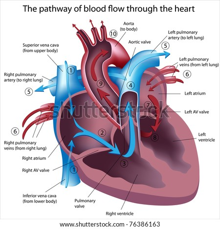 Pathway of blood flow through the heart - stock photo