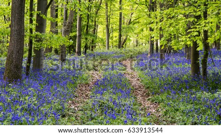 Pathway through a bluebell covered woodland