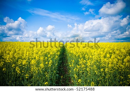 Pathway through meadow of canola flowers with blue summer sky - stock photo