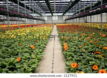 Pathway through the Gerbera ; Greenhouse - stock photo