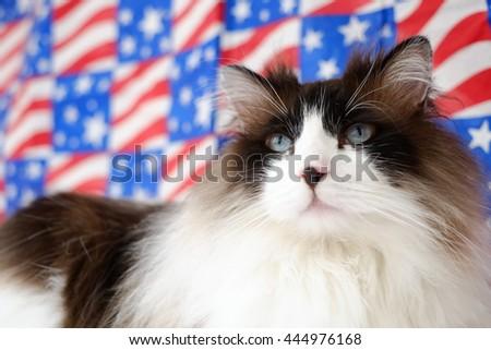 Patriotic American 4th of July Ragdoll Bi Color Cat - stock photo