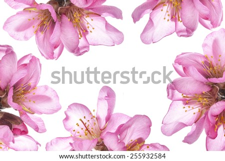 pattern almond blossoms. almond tree pink flowers close-up with branch  isolated on white background. - stock photo