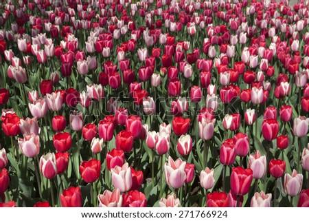 Pattern flower tulips at Keukenhof garden - Image for background - stock photo