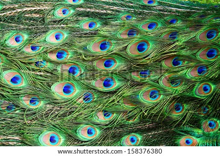 pattern of colorful peacock feathers - stock photo