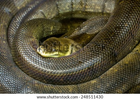 pattern of macklot python. - stock photo