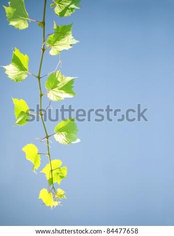 Pattern of vine leaves - stock photo