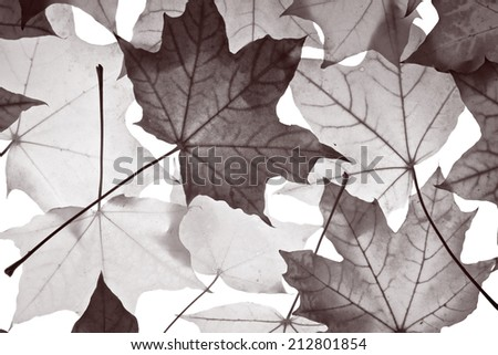 pattern of yellow and red maple foliage on white background - stock photo