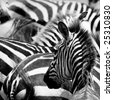 pattern of zebras, masai mara, kenya - stock photo