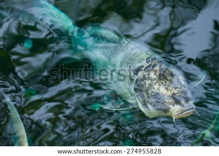 Patterned koi carp nosing the water surface